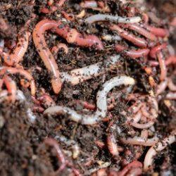 biolytix-worms